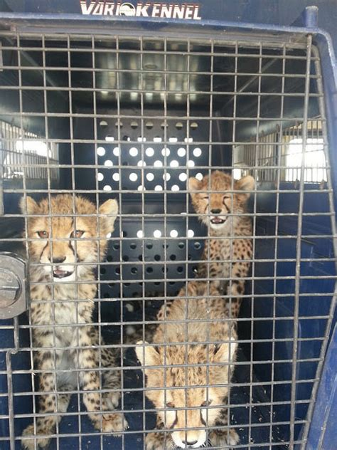 Born Free and others work to save cheetah