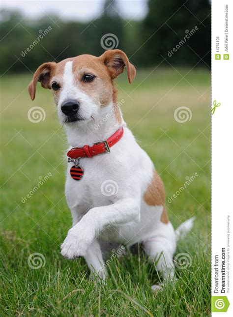 Parson Jack Russell Terrier Offering His Paw Stock Photo