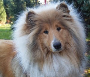 Colliekennel Maydale