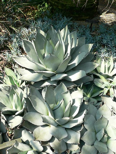 Agave parryi - Wikispecies